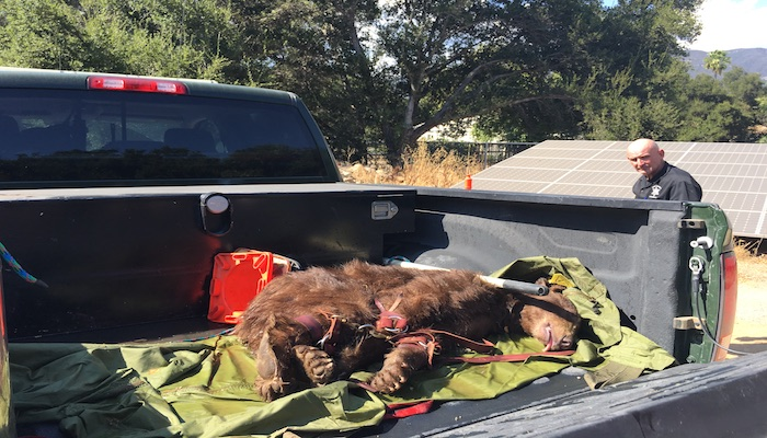 Bear Cub Relocated to Los Padres National Forest