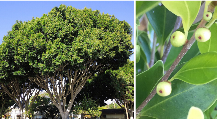 January Tree Of The Month Indian Laurel Fig Edhat