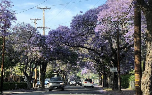 Jacaranda Trees to be Removed title=
