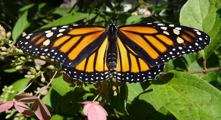 Two Bills Reintroduced to Save Monarch Butterflies title=