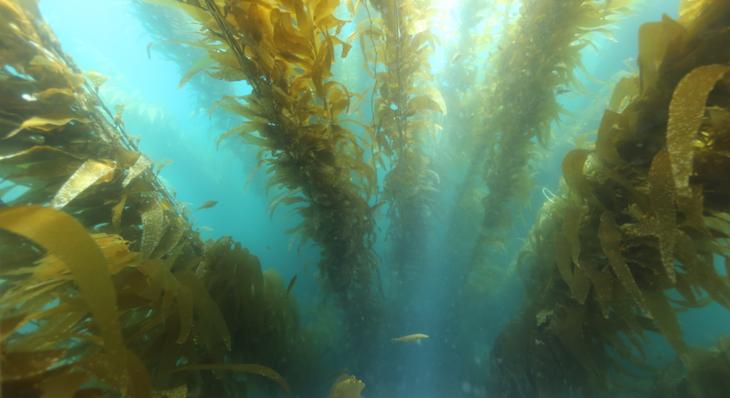 Kelp Help