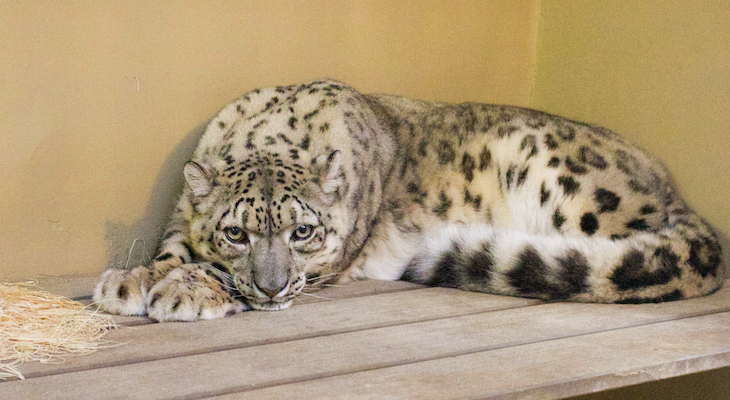 New Snow Leopard and Reindeer Arrive at Zoo title=