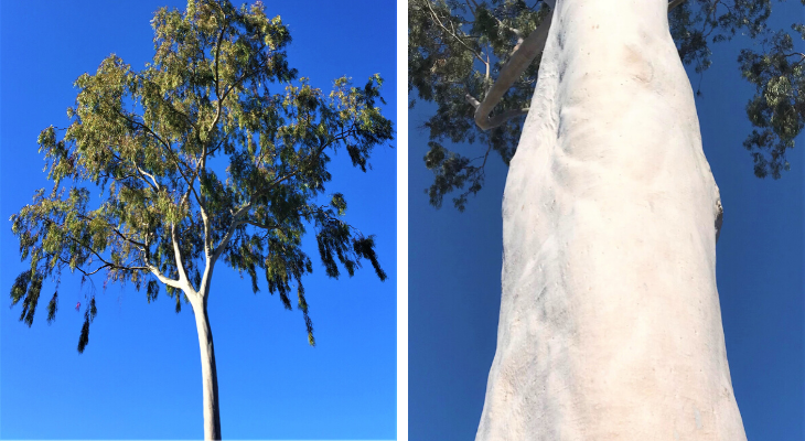 April Tree of the Month: Lemon-Scented Gum title=