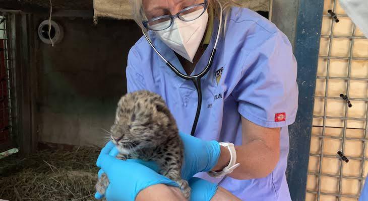 Amur Leopard Cub Born at Santa Barbara Zoo