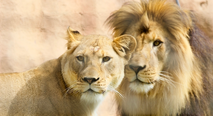 Santa Barbara Zoo Announces Two New African Lions title=