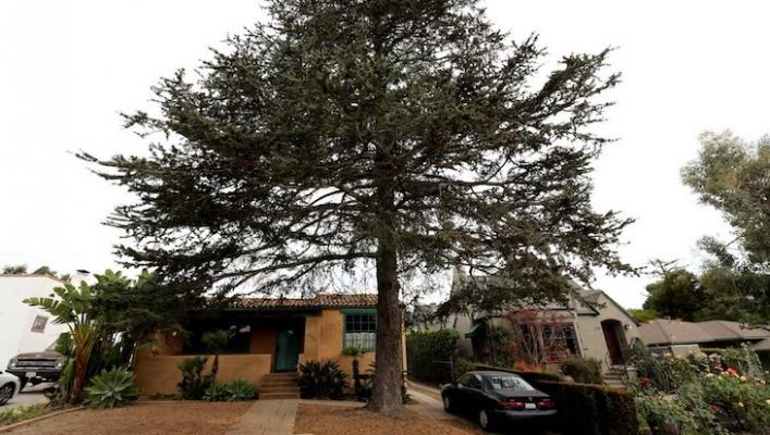Tree Removal Request Exposes Rotten Underbelly of Santa Barbara's Appeal Process title=