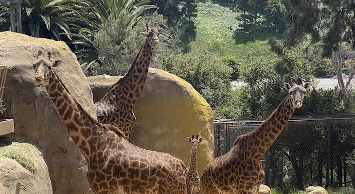 Santa Barbara Zoo confirms Two Masai giraffes are Pregnant