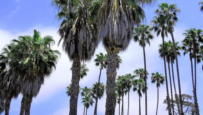 June Tree of the Month: Mexican Fan Palm title=