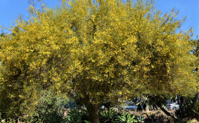 July Tree of the Month: Mexican Palo Verde title=
