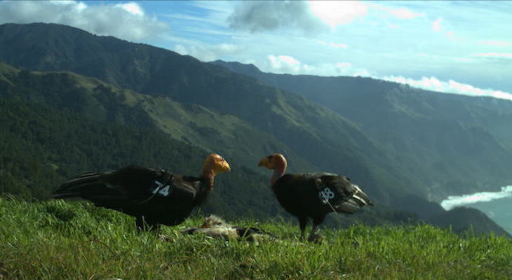Second Generation Condors Nesting in the Wild title=