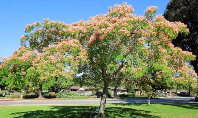 July Tree of the Month: Mimosa