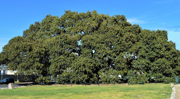 March Tree of the Month: Moreton Bay Fig title=