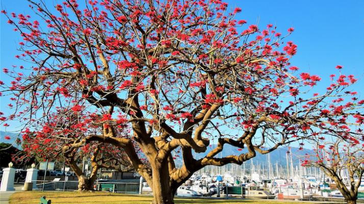 April Tree of the Month: Naked Coral Tree