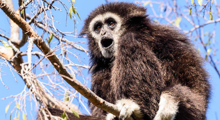Elderly Gibbon Dies at Santa Barbara Zoo