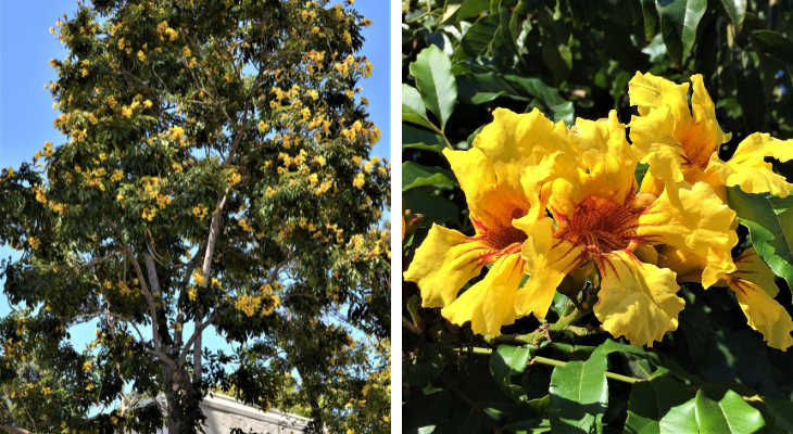 September Tree of the Month: Nile Tulip Tree