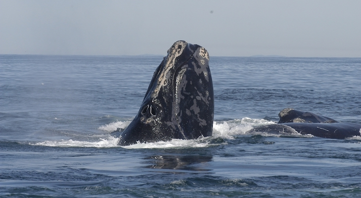 Right Whales May Face a Dim Future title=
