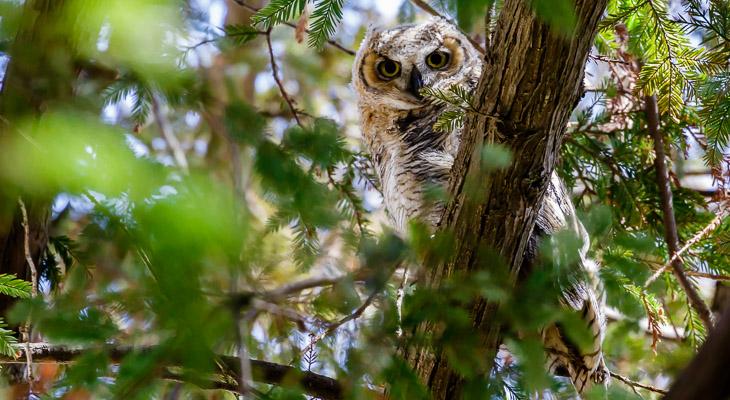 Four Great Horned Owls at Garden Street Academy