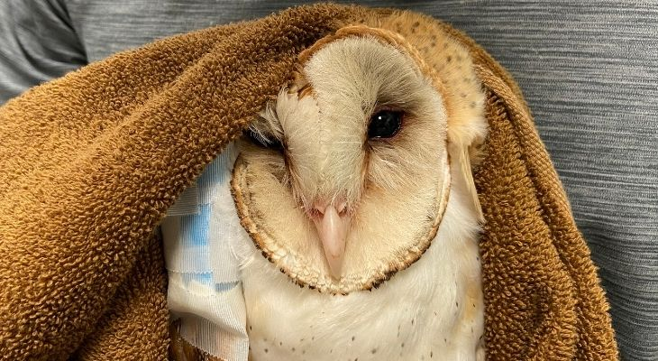 Owl Rescued by CHP Recovering at SB Wildlife Care Network title=
