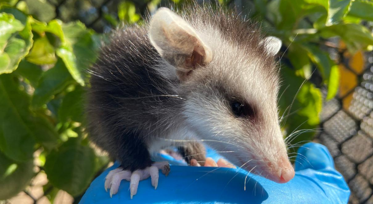 Baby Opossum: SB Wildlife Care Network's Patient of the Week title=