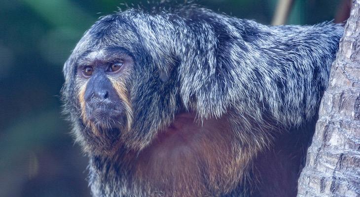 Santa Barbara Zoo Welcomes Two New Saki Monkeys title=