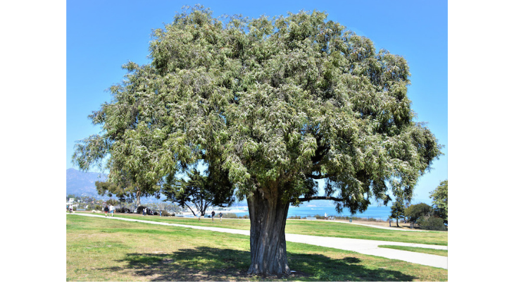 June Tree of the Month: Peppermint Tree