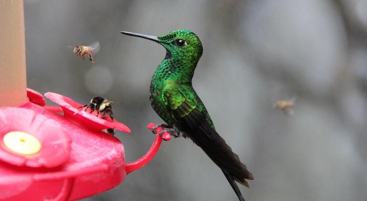 Hummingbird Family