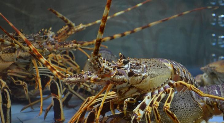 Dangerous Levels of Domoic Acid in Local Lobster