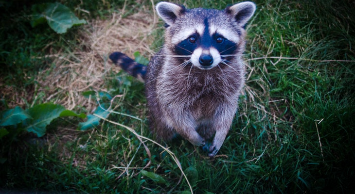 Canine Distemper Increase in Raccoons