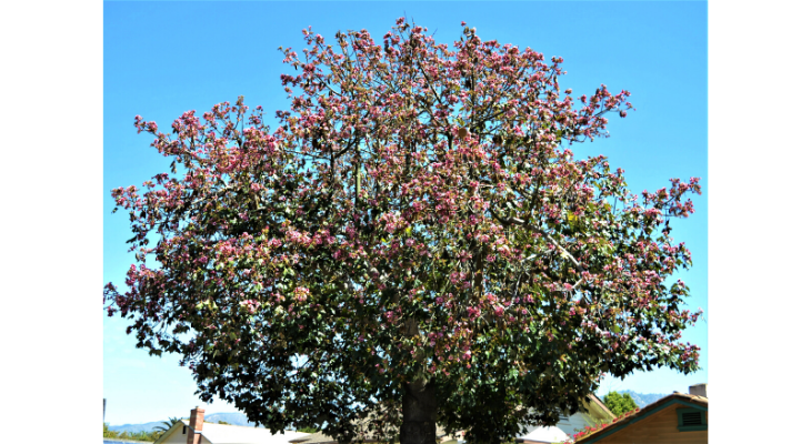 July Tree of the Month: Pink Flame Tree