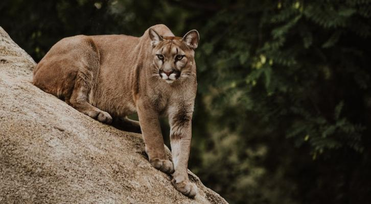 State Commission Grants Temporary Protection to Mountain Lions