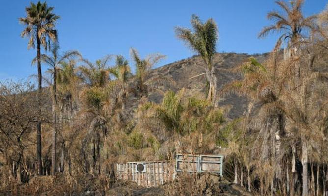 Palm Tree Farm Hit by Thomas Fire title=
