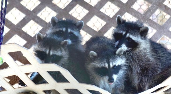 Raccoons Rescued as Babies Released Back to the Wild! title=