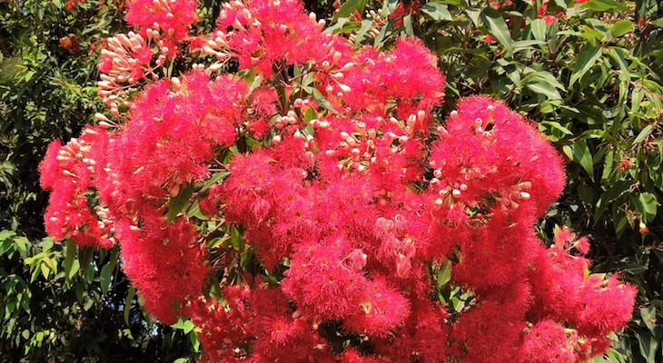 August Tree of the Month: Red-Flowering Eucalyptus title=