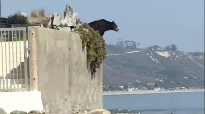 Black Bear Euthanized After Seen on Rincon Beach title=