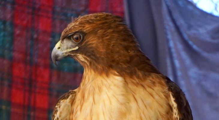 SB Wildlife Care Network's Patient of the Week: Red-Tailed Hawk with Broken Wings title=