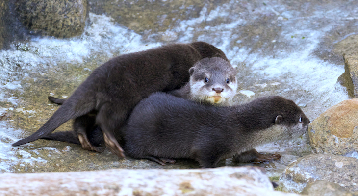 Otter Pups Debut at the Santa Barbara Zoo