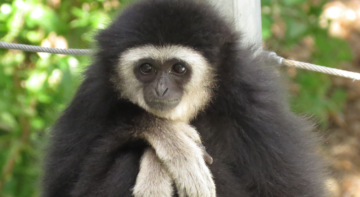 White-Handed Gibbon Dies in Zoo Accident title=