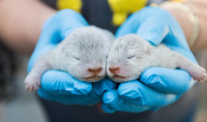 Three Asian Small-Clawed Otter Pups Born at the Zoo
