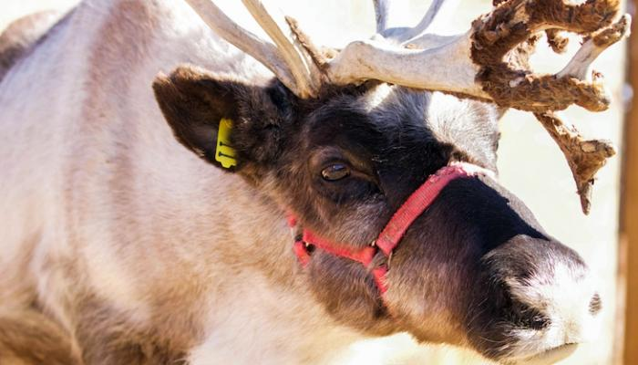 Santa's Reindeers Come to Santa Barbara