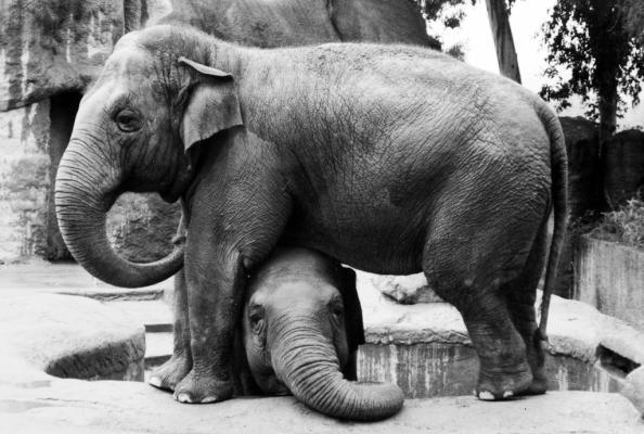Santa Barbara Zoo's Asian Elephant Sujatha Dies