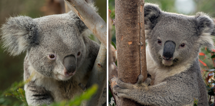Koalas are Coming to the Zoo!
