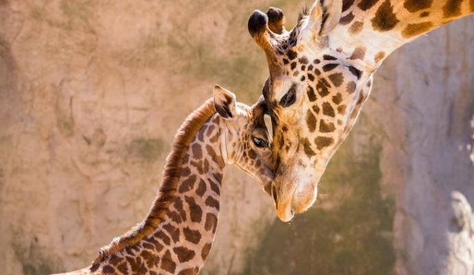 Zoo's Giraffe and Leopard to Depart as Part of Critical Species Survival Plan title=