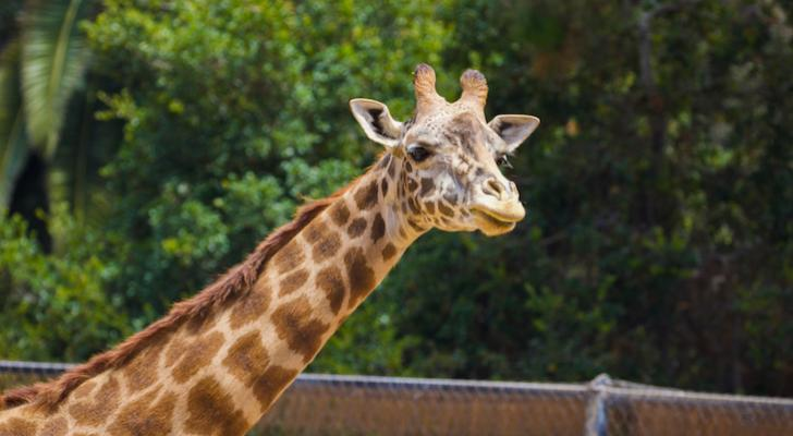 Two Endangered Masai Giraffes Pregnant at Santa Barbara Zoo title=