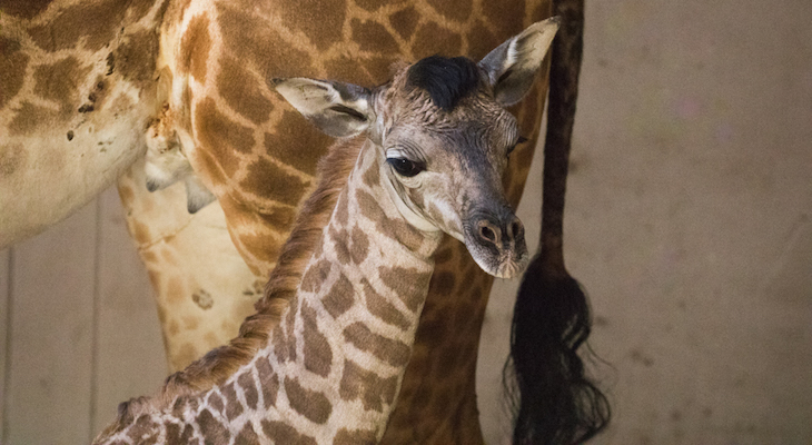 Giraffe Calf Born at the Santa Barbara Zoo