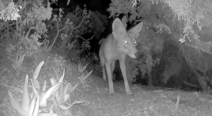 Coyotes Caught on Camera
