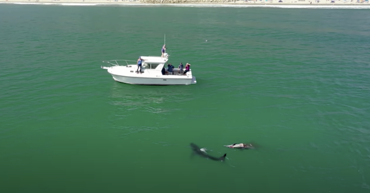 Drone Video Captures Great Whites Feeding title=