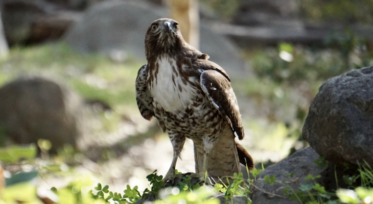 Red-Tailed Hawk Release: SB Wildlife Care Network's Patient of the Week title=