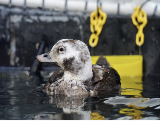 Long-tailed Duck: SB Wildlife Care Network's Patient of the Week title=