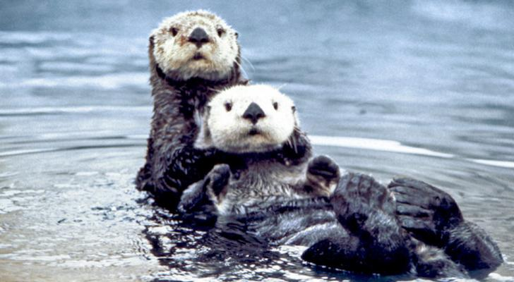 "Ninth Circuit Upholds Termination of ""No Otter Zone"" title="