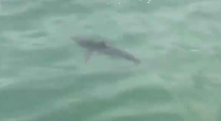 Video of Juvenile Great White Shark title=
